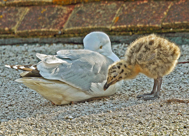 A Seagull S Story From Chick To Adult