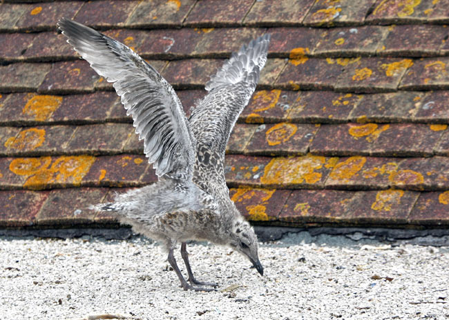 A Seagull's Story, From Chick to Adult