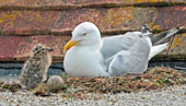 A seagull and her chick - photo